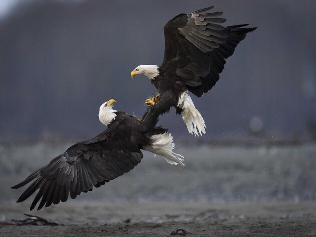 Two Bald Eagles in a Tangle