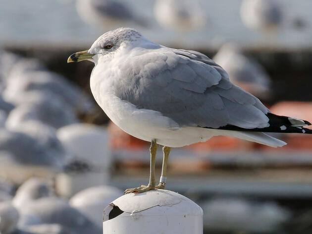 The oldest known Ring-billed Gull photographed in Cleveland, Ohio, January, 2021. Chuck Slusarczyk Jr.