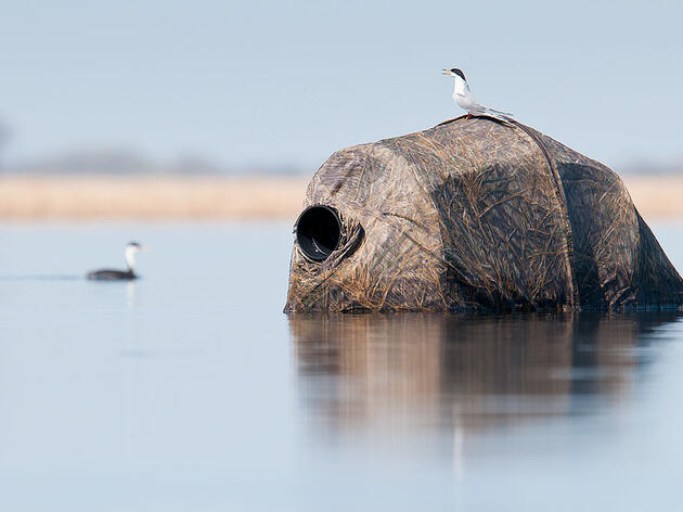 """This Forster's Tern has no clue there's a human hiding underneath it. David Stimac/<a href=""""http://www.davidstimac.com/index"""">davidstimac.com</a>"""