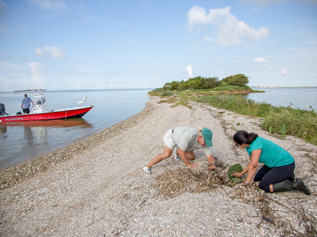 Victoria Vazquez, coastal conservation program manager for Audubon Texas, right, and warden Dennis Jones, center, dig out a prickly pear cactus from the mound of shells left on the beach by Hurricane Harvey. Julia Robinson