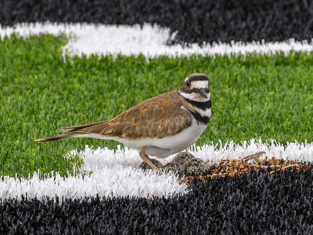 Nesting Killdeer Called for Delay of Games