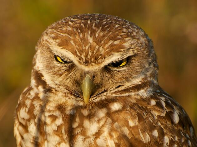 Burrowing Owl named Audubon California's  2013 Bird of the Year