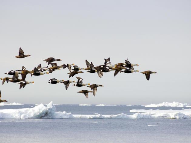 Big Win for Arctic Wildlife