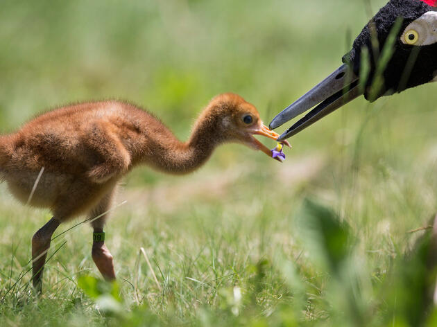 How to Raise a Wild Bird: The Tricks and Costumes Behind the Whooping Crane's Return