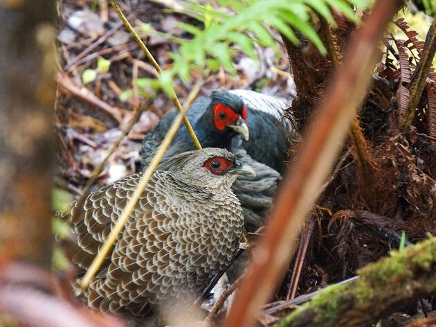 How Hawaii's Kalij Pheasants Remind Us That Social Behavior Can Be Flexible