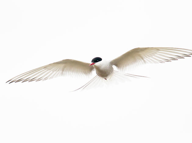 Photo of the Day: Arctic Tern