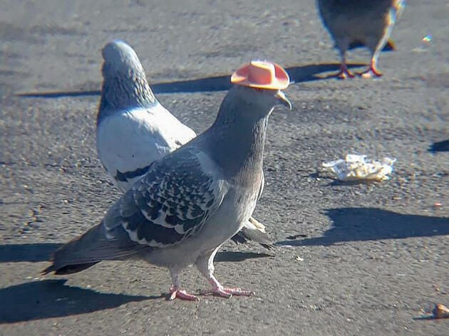 Those Pigeons Wearing Cowboy Hats? They're No Laughing Matter.