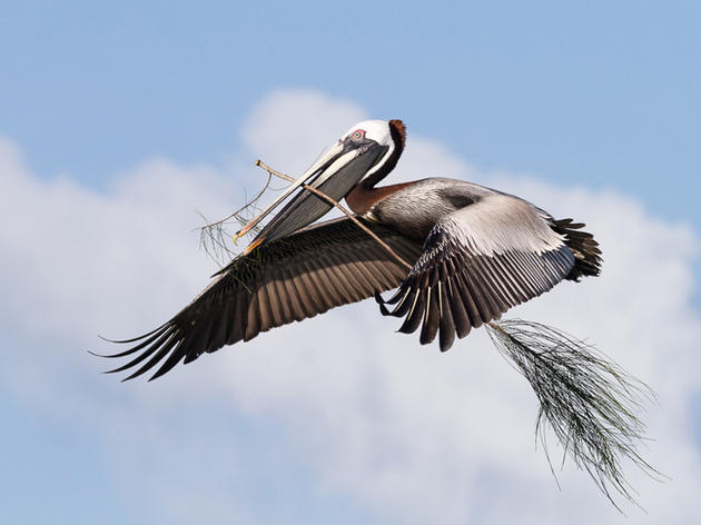 Photo of the Day: Brown Pelican