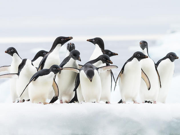 Photo of the Day: Adelie Penguins