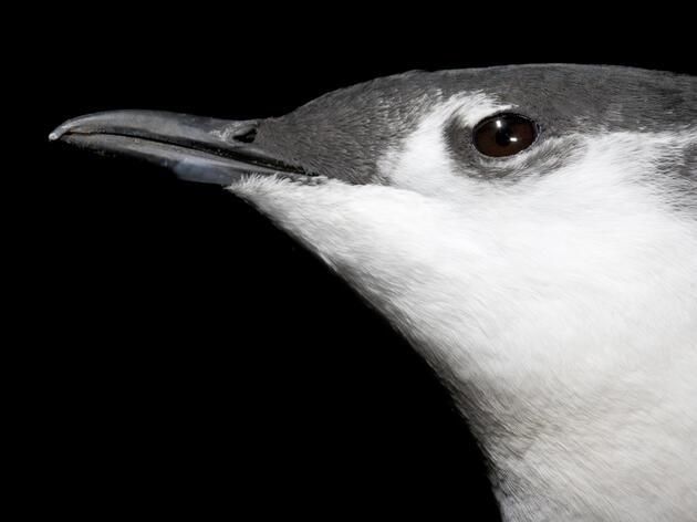 New Effort Brings Birds Back to the Baja Peninsula