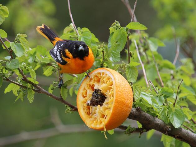 A Baltimore Oriole snacks on an orange feeder. Monique van den Berg/Flickr Creative Commons