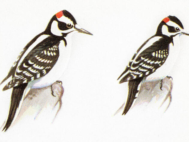 How to Tell a Hairy Woodpecker From a Downy Woodpecker