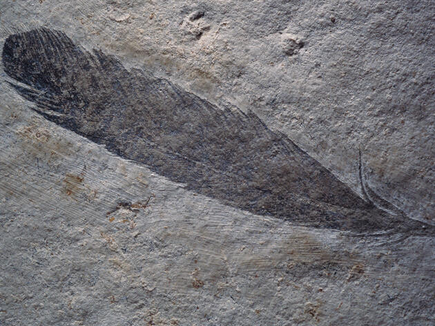 Dinosaurs' feathers may not have looked exactly like the avian plumage of today, but dinos had the necessary feather-building genes. O. Louis Mazzatenta/National Geographic Creative