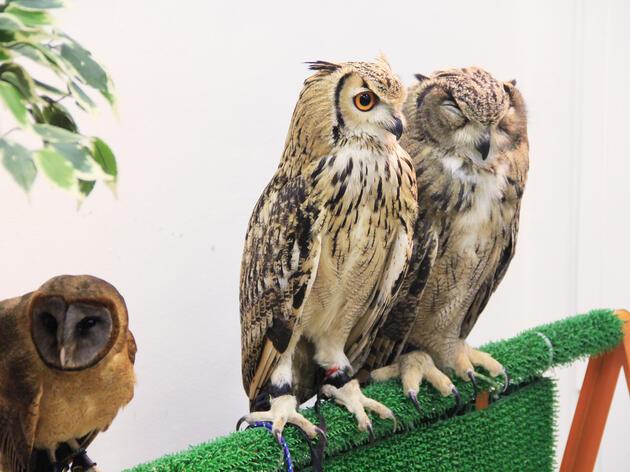 Three birds held captive in a Japanese owl café. Masaki Takashi/Flickr Creative Commons