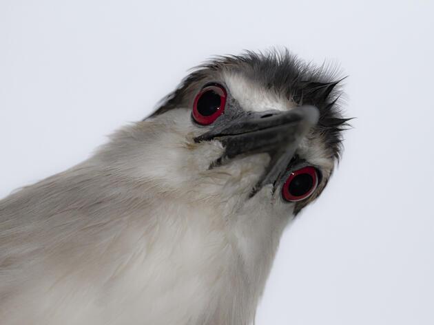 Black-crowned Night Heron. Black-crowned Night-heron. Patricia Corapi/Audubon Photography Awards