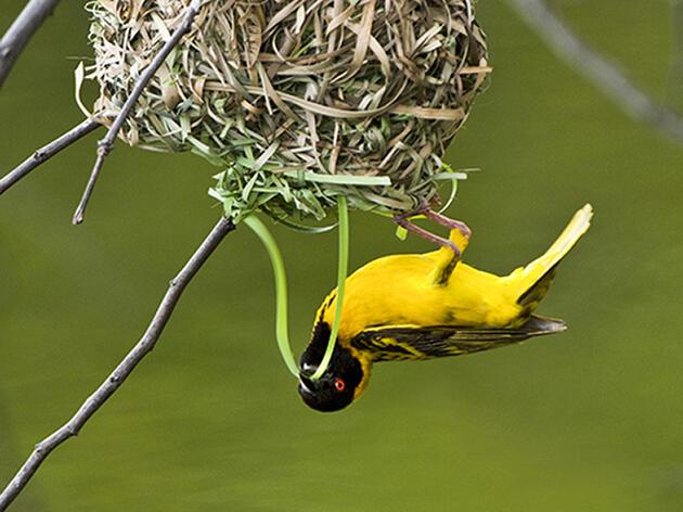 A Weaverbird at Work