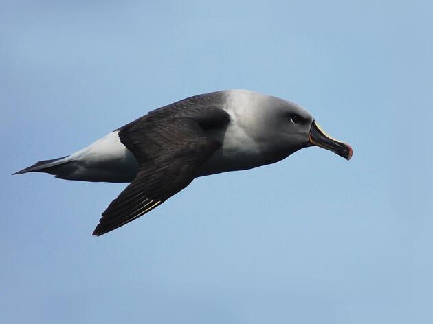 Grey-headed Albatross. National Oceanic Atmospheric Administration/Flickr Creative Commons