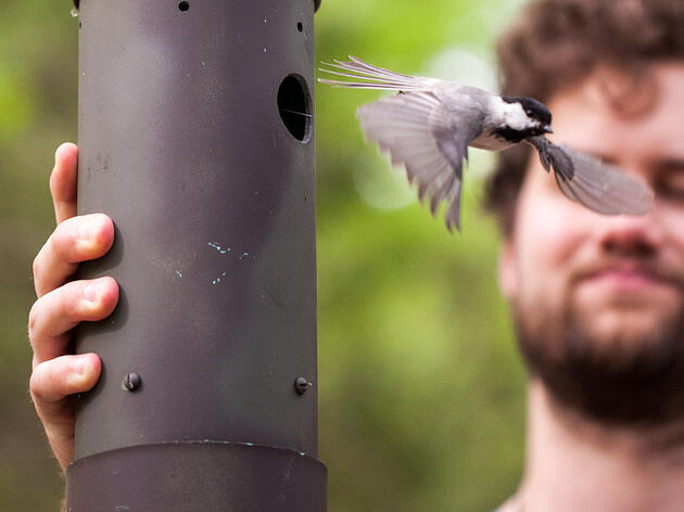 Hybrid Chickadees Are Terrible at Memory Games