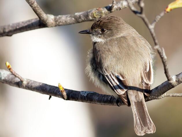 Birdist Rule #61: Find Your First Phoebe, the Gateway Flycatcher