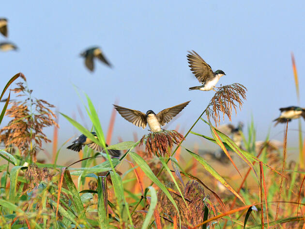 Researchers Identify the Hormone That Tells Migratory Birds to Stop Eating and Keep Moving