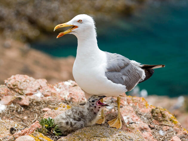 Yellow-legged Gull with chick. Emmanuel Lattes/Alamy