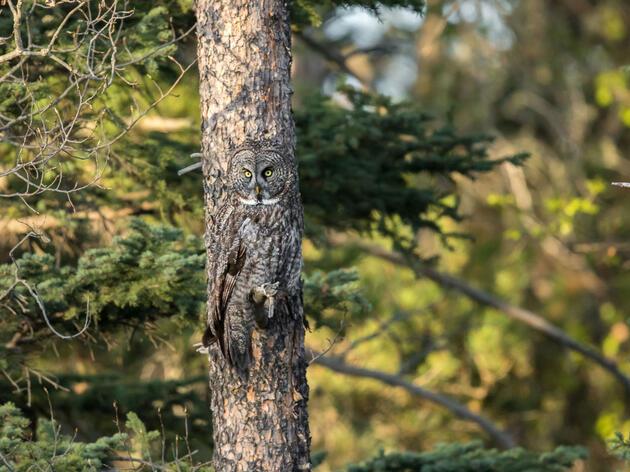 Great Grey Owl. Daniel Dietrich