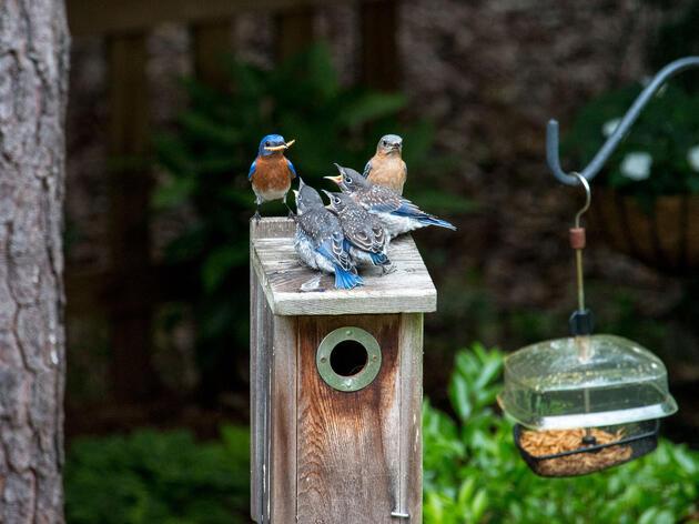 Eastern Bluebirds. Russell Niemi/Audubon Photography Awards