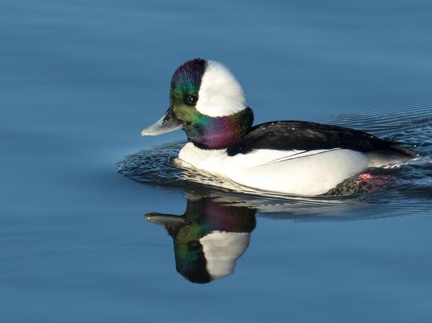 Birdist Rule #106: Go Find Yourself a Bufflehead