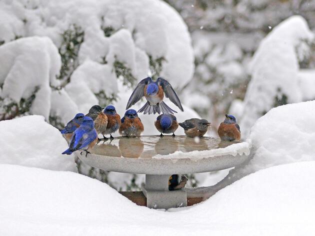 Western Bluebirds. Don Moody/Audubon Photography Awards