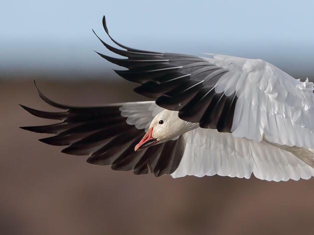 Audubon Urges Congress to Permanently Protect the Arctic National Wildlife Refuge