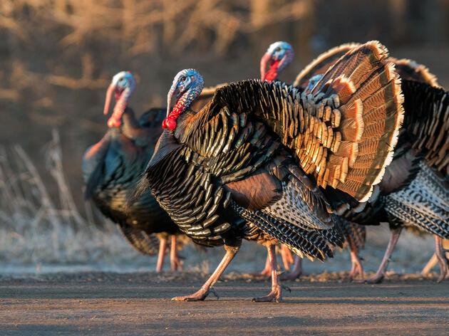 Wild Turkeys. October Greenfield/Audubon Photography Awards