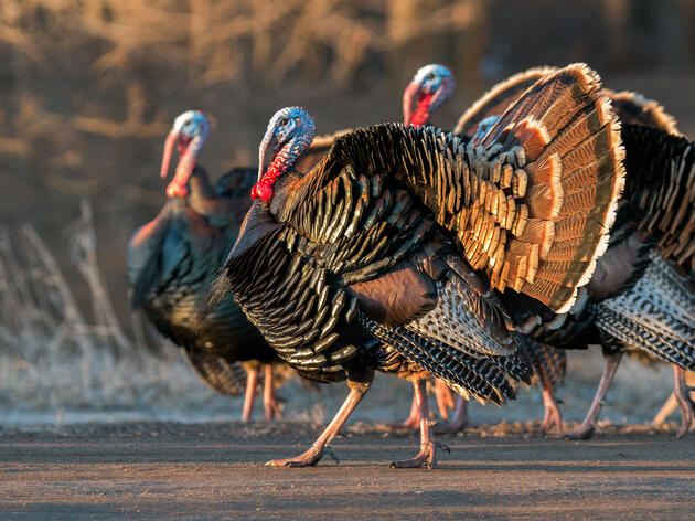 How Wild Turkeys Took Over New England