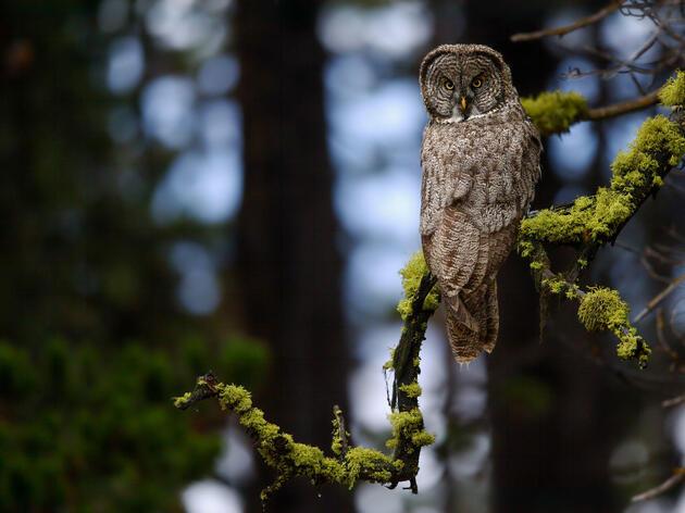 Great Gray Owl Melyssa St. Michael/Audubon Photography Awards