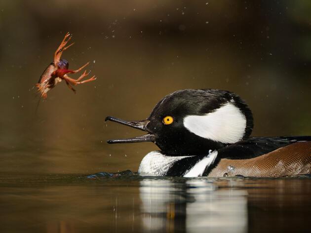 Hooded Merganser. Dorian Anderson/Audubon Photography Awards