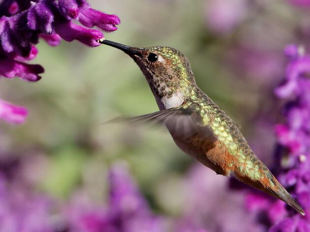 Allen's Hummingbird named Audubon California's  2014 Bird of the Year