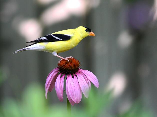 American Goldfinche
