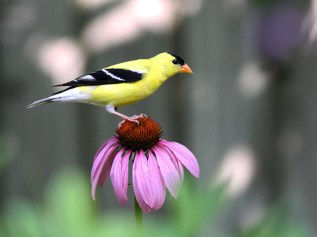 American Goldfinche. If we continue our current rate of greenhouse gas emissions, American Goldfinches are projected to disappear from 23 states including New Jersey, Illinois, Texas, Arizona, and the Dakotas. Will Stuart