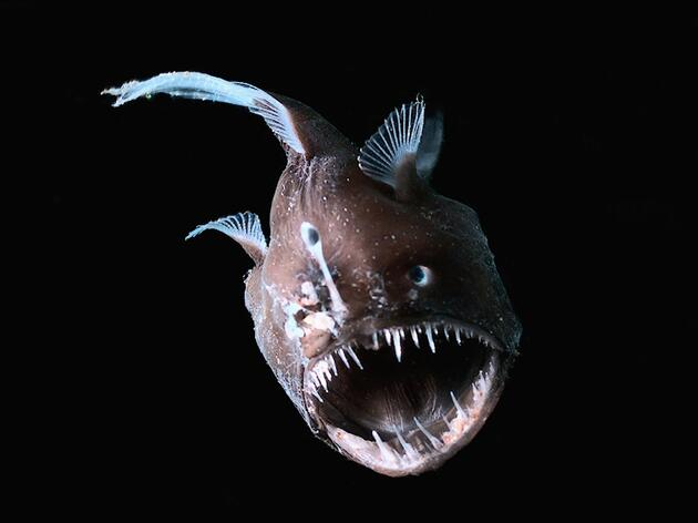 The Angler Fish, Melanocetus johnsonii, uses bioluminescence and its lure to attract prey. Photograph by E. Widder/HBOI/Visuals Unlimited