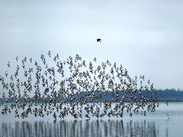 Merlin chasing flock of shorebirds, Humboldt Bay, California. Mint Images/AP