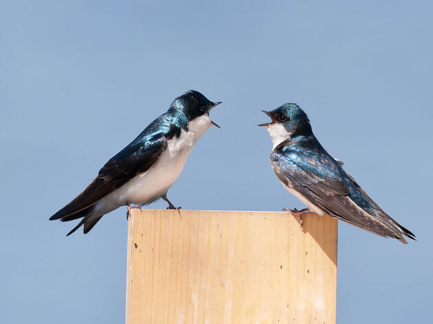 Tree Swallows, like those pictured here, are among the birds threatened by climate change in Washington state. David Glatz/Audubon Photography Awards