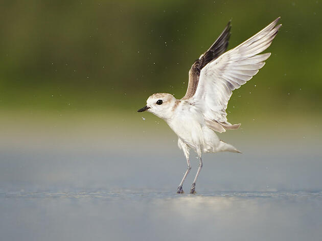 Snowy Plover. The PROTECT program, will help birds like Snowy Plovers by using natural infrastructure. Matthew Hansen/Audubon Photography Awards