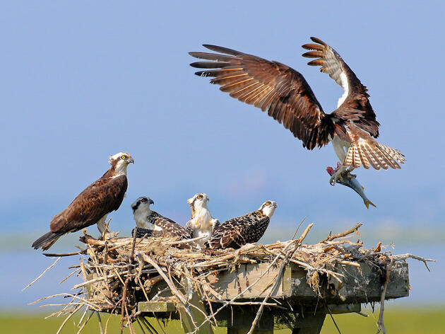Osprey. Joseph Costanza/Audubon Photography Awards