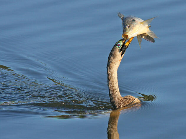 Get to Know the Anhinga, or 'Snakebird'