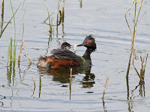 Eared Grebes. Charles Carlson/Audubon Photography Awards