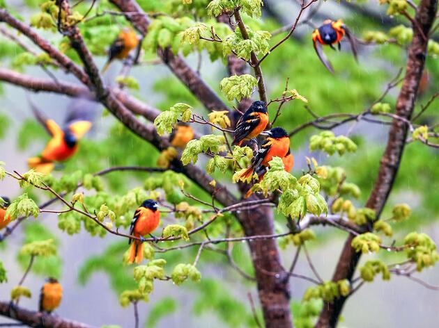 Baltimore Orioles. Eric Nie/Audubon Photography Awards