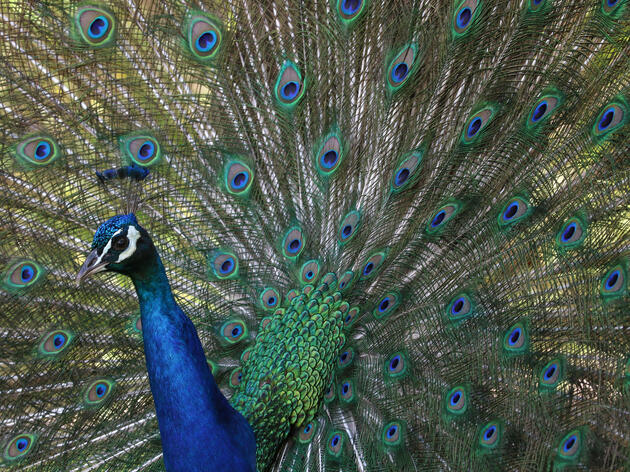 Hear the Sound of Peacock Love Made by Trembling Feathers