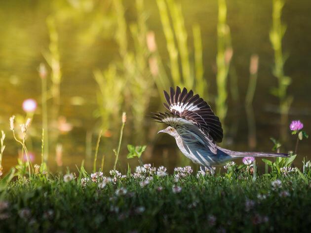 Northern Mockingbird. Jess Deitz/Audubon Photography Awards