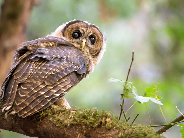 Northern Spotted Owl. Sylvia Hunt/Audubon Photography Awards