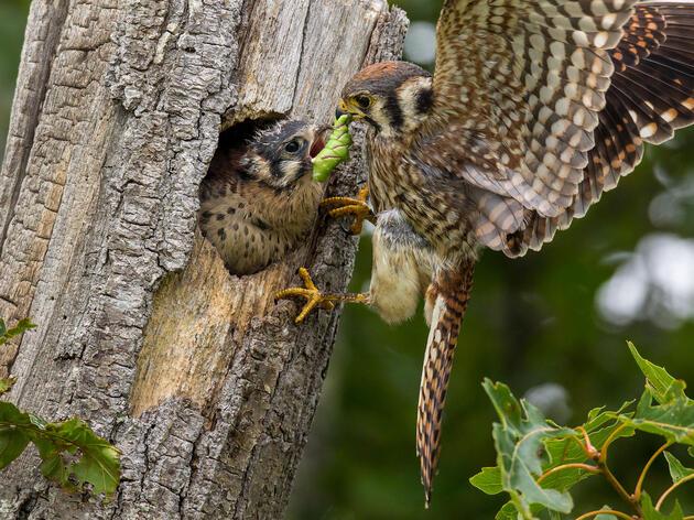 American Kestrels with a hawk moth caterpillar. Christopher Ciccone/Audubon Photography Awards
