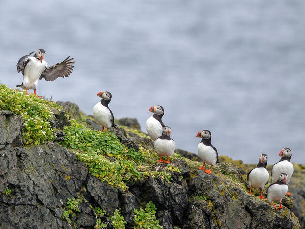 Atlantic Puffins. Bonnie Block/Audubon Photography Awards